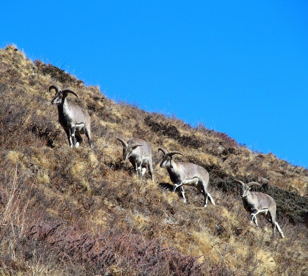 Some more musk deer
