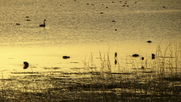 Black swans in the morning light