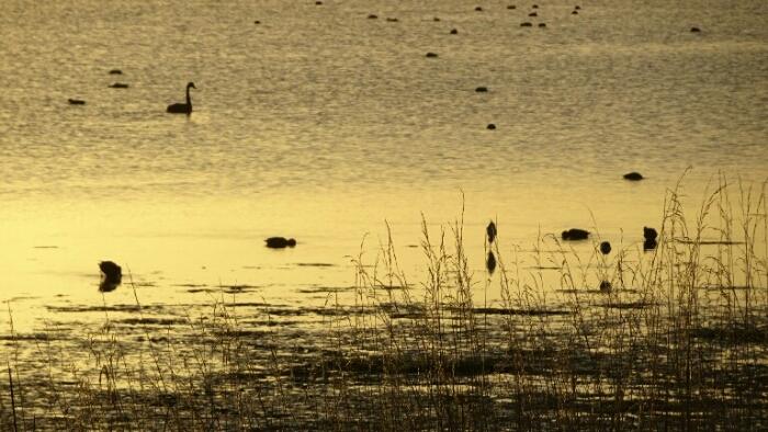 Black swans in the morning light